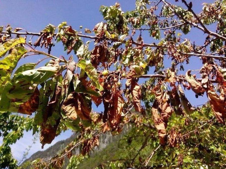 kirschbaum krankheiten kirschbaum krankheiten der gartenratgeber krankheitsbild kirschbaum
